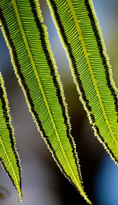 "Nature's Fractals ~Angiopteris evecta ""Giant Fern"". Fronds can grow to 4 or 5 metres in length."
