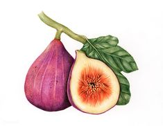 Buy Illustration drawing style of fig by Rawpixel on PhotoDune. Illustration drawing style of fig Fig Drawing, Drawing Style, Botanical Drawings, Botanical Prints, Watercolor Food, Watercolor Paintings, Watercolour, Fig Fruit, Image Nature