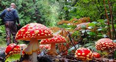 Amanita muscaria , by Bruce Anderson – Campbell River, BC Victoria Island Canada, Mushroom Pictures, Weird Plants, American Illustration, Mushroom Fungi, Best B, What A Wonderful World, Green Flowers, Natural World