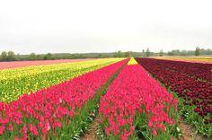 Flower fields near Keukenhof, The Netherlands