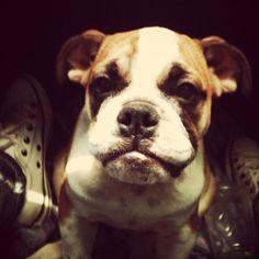 Boxer pupy