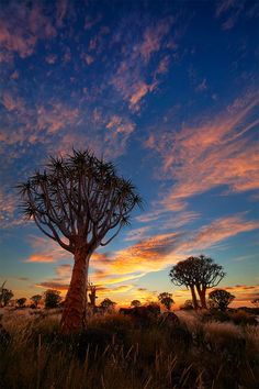 Quiver Tree Forest Sunrise, Namibia   Quiver Tree Forest, Keetmanshoop, Namibia