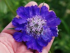 """Scabiosa Fama Deep Blue ~   Giant 4-5"""" flowers!   The best in a true blue flower     Masses of flowers from spring-fall     Attracts Butterflies & Hummingbirds     Best strain for cut flowers     Zone 5,6,7,8,9    Blooms Early summer-Fall     20"""" X 12"""""""