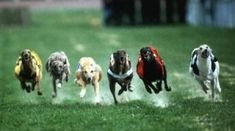 Not all breeds are used for dogs racing. There are special breeds of dogs designed for racing. All Dogs, Best Dogs, Racing Dogs, Female Dog Names, Dog Anxiety, English Cocker Spaniel, Grey Hound Dog, Italian Greyhound, Mans Best Friend