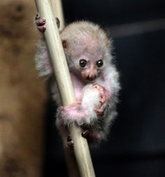 """Baby Potto  The potto is a type of loris who lives in Africa, never leaves it's trees, and is nocturnal. In some English-speaking parts of Africa it is known as a """"softly-softly."""""""