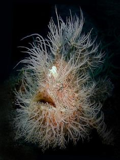 Hairy Frogfish needs a haircut! scaryfish Informations About Hairy Frogfish needs a haircut! Deep Sea Creatures, Weird Creatures, Underwater Creatures, Underwater Life, Animals Tattoo, Weird Fish, Scary Fish, Fotografia Macro, Beautiful Ocean