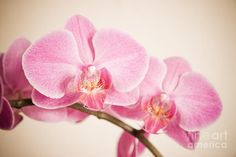 pink blossoms of an beautiful orchid