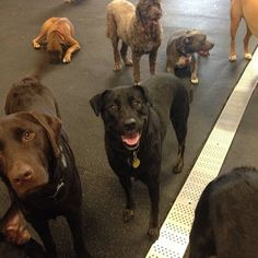 Meet our #newmember, Sadie! A #labmix who is enjoying the company of her new doggy pals  #fitdogsportsclub