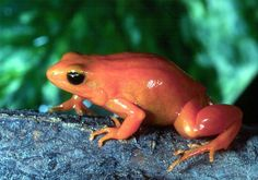 Sweetly Poisonous Tiny Frogs | Gomestic