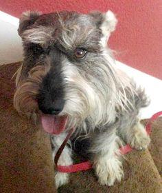 Lost Dog - Schnauzer Miniature - El Paso, TX, United States 79936