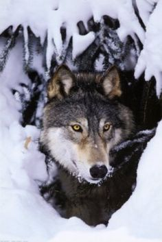 A unique howling animal wolf truly attracted to human beings through out the history either by fear or dear. Images and posters of wolves through...
