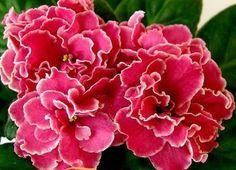 ☘ ALAMO JOY ☘ African Violet Plant Saintpaulia ☘ Starter Plug