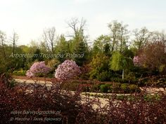 Arboretum Trojanów Poland Magnolia Betty https://www.facebook.com/media/set/?set=a.494154253980904.1073741835.49395