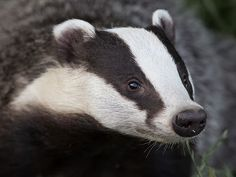 badger profile images - Google Search
