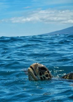 Sea Turtle in Maui, Hawaii
