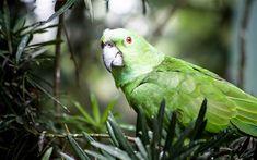 Download wallpapers Great green macaw, green birds, parrots, Ara ambiguus