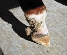 Why let your horse suffer with Equine Pastern Dermatitis?  Put our socks on it!  Silver Whinnys!  Check out our testimonials.