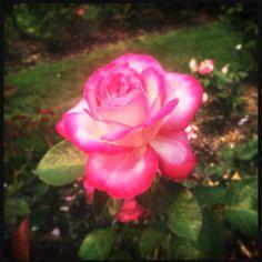 smokey Rose Garden