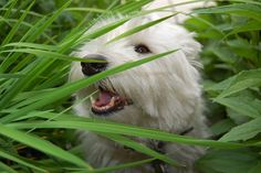 @Kathy Vetters - just for you! Check out the board this one's from - all Westies!
