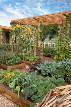 Food vegetable garden, raised beds, sunflowers, trellis, blue sky and nice clouds