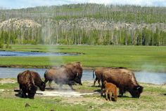 Earthquake in Yellowstone National Park today   Earth   EarthSky ~~ photo shows the bison at Yellowstone.