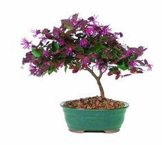 (CLICK IMAGE TWICE FOR UPDATED PRICING AND INFO)  Brussel\'s DT8045FF Fringe Flower Bonsai  See More Valentine Gift Ideas for Women at http://www.zbuys.com/level.php?node=6088=valentines-gift-ideas-for-women
