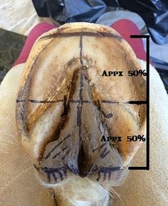 DIY: Checking Hoof Balance. In this simplified version, for both the medial/lateral (side-to-side) and the anterior/posterior (front-to-back), we will be looking at the solar (bottom) view of the hoof. [article]