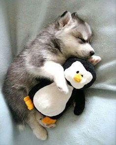 Husky with his baby penguin awe to precious!