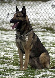 BRUNO - Caring for America's Canine Heroes: Military Working Dog Foundation, Inc. - Adoptions, Information, Resources. This is MWD Bruno.