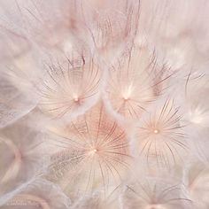 Original, signed fine art photograph of dandelion.  TITLE: The Web  SIZE: 12 x 12  This is original, signed fine art photograph