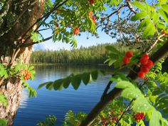 Rowan berries by Visit Finland, via Flickr