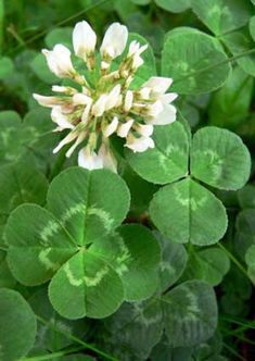 Reminds me of my youth when my dad replanted the front lawn with clover.Lucky Four-leaf Clover! Wild Flowers, Bloom, Green, Plants, Language Of Flowers, Clover, Plant Leaves, Beautiful Flowers, Flowers