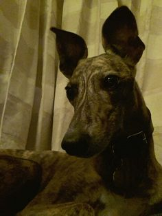 Catching a fly.well trying to :) Lurcher, Vegas, Meet, Animals, Animales, Animaux, Animal, Animais