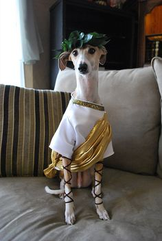 """""""da vinci, our italian greyhound, as julius caesar."""" First of all, what an ADORABLE name for an Iggy! Second, what an adorable costume! He's not one of mine lol) Dog Halloween Costumes, Pet Costumes, Unique Costumes, Pirate Costumes, Costume Ideas, Julius Caesar Kostüm, Dog Love, Puppy Love, Animal Dress Up"""