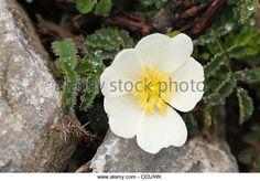 rosa pimpinellifolia irish - Google Search