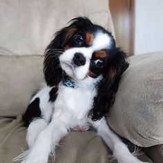 ♥ my next cavalier will be a sweet little tri color like this one!