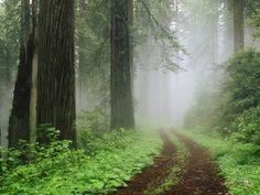 Redwood National Park   Redwood-National-Park-in-Fog-California-Wallpaper.jpg