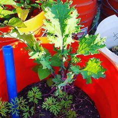 #carrots #kale #TeachEverywhereGrowAnywhere learn-and-grow.org