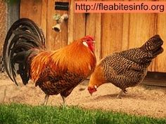 Chickens are at risk of plague by pet fleas and mites. While these fleas or mites are small and might not look very risky, but a rigorous infestation can seriously damage and even kill a chicken. Symptoms of flea or mite infestation can include loss of feathers, scaly or dirty skin, and frayed or discolored feathers. Chickens can also become lacking energy, lethargic and whitish around their heads, and might stop laying eggs. Learn here how to get rid of fleas on chickens. For protecting…