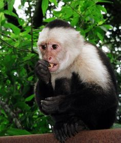 Capuchin Monkey | Capuchin Monkey - Viewing Gallery