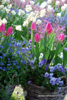 Spring bulbs garden border and potted plants