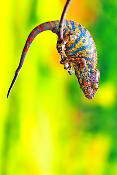 Cameleon colors by harinaivoteza on Flickr.