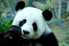 O adorável Panda Gigante