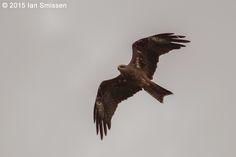 Black Kite, Lake Tutchewop, Kerang Pentax K-3, Sigma 300mm f/2.8 (x2 adaptor), ISO 400, f/5.6 1/2000