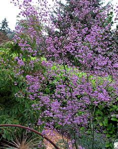 Thalictrum delavayi, Hewitts double, shade