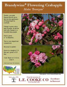 crabapple tree - Google Search