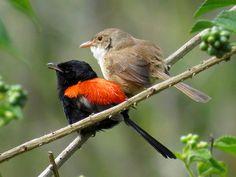 Red-backed Fairy Wren pair - endemic to Australia