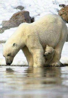 Nature Animals, Animals And Pets, Wild Animals, Nature Nature, Baby Polar Bears, Bear Photos, Bear Cubs, Tiger Cubs, Tiger Tiger
