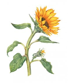 SunflowerFront  Sally Jacobs   WATERCOLOR