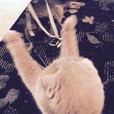Ribbon party! 🎁💗🎉 #meecheebomb #catsofinstagram #rosie #catsatplay #ribbonsandbows #scottishfold